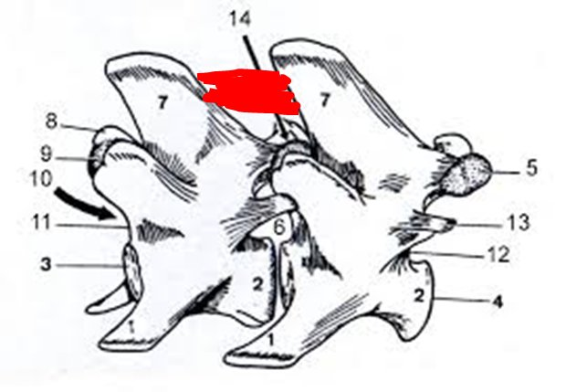 Lig. longitudinale dorsale Wirbelsäule Pferd