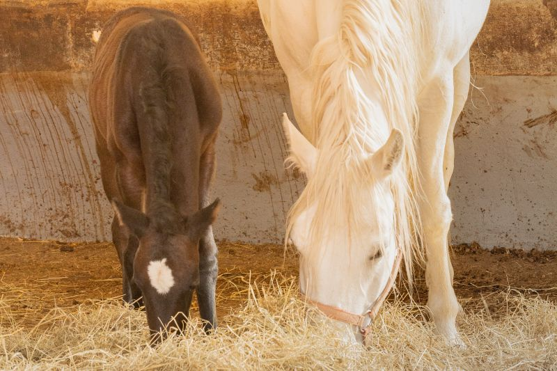 Mares_and_Foals_Lipica