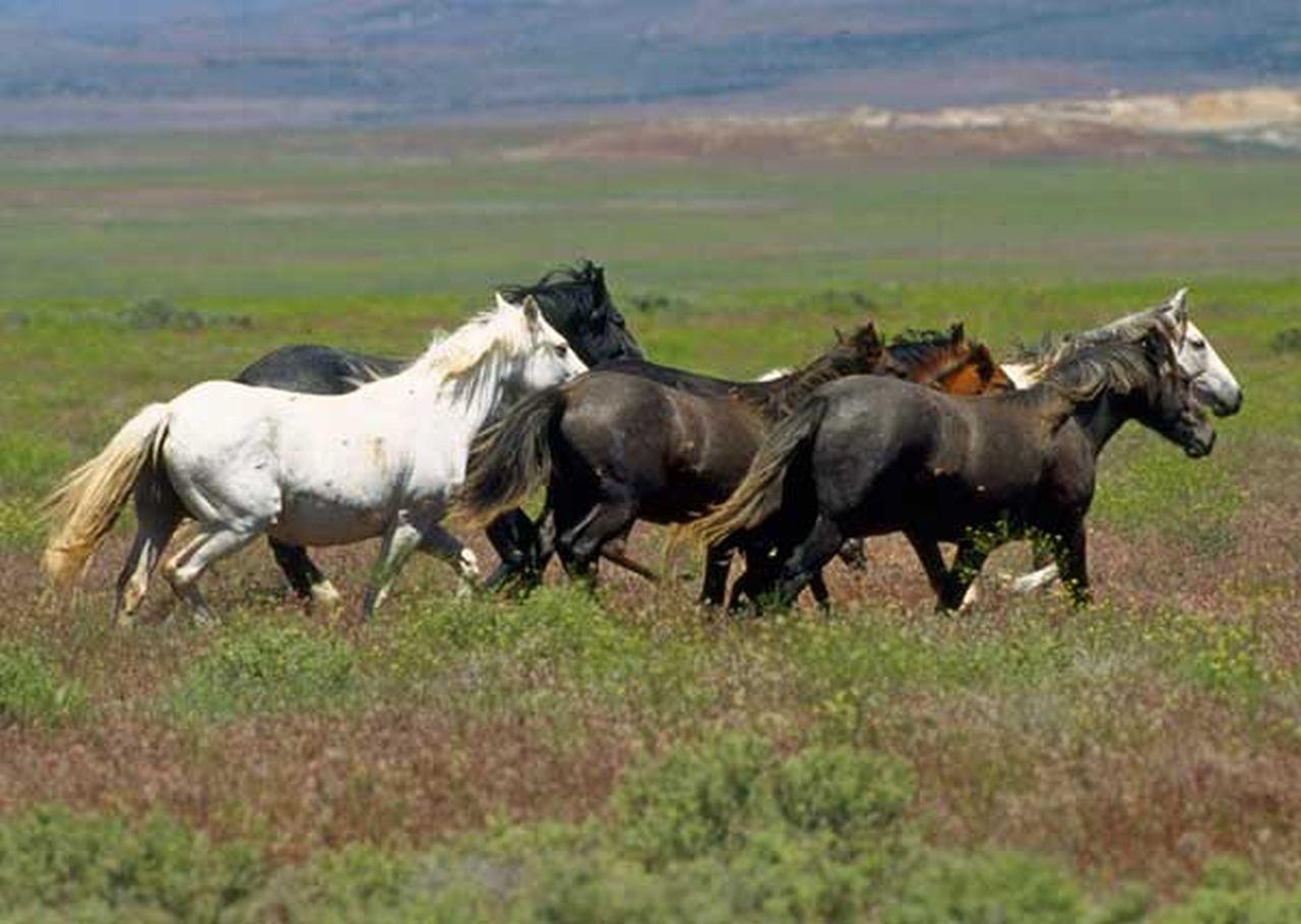 Mustangs in Freiheit
